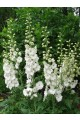 Delphinium Magic Fountain White