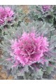Flowering Kale Coral Queen Red