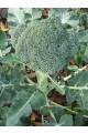 Green Sprouting Calabrese Broccoli