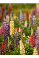 Lupine Russell Series Mix Seeds