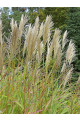 Miscanthus sinensis Chinese Silver Grass Seeds