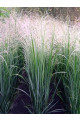 Panicum virgatum Seeds - Emerald Chief Switchgrass