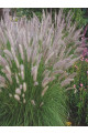 Pennisetum setaceum Seeds - Brown Eared Grass