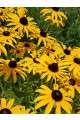 Rudbeckia hirta Seeds