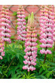 Russell Lupine Chatelaine Pink Seeds