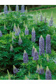 Russell Lupine Governor Blue Seeds