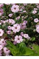 Saponaria Pink Beauty