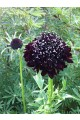 Scabiosa Ace of Spades
