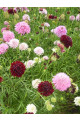 Scabiosa Giant Mix Seeds