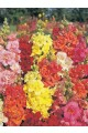 Snapdragon Madame Butterfly Mix