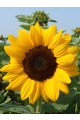 Sunflower Vincent Choice Seeds