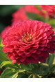 Benary's Giant Coral Zinnia Seeds