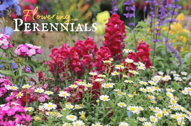 Shop Flowering Perennials